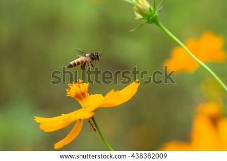 Bee in flower bee amazing,honeybee pollinated of yellow flower - stock photo