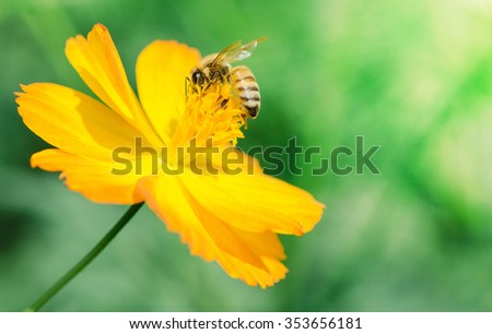 Bee in flower bee amazing,honeybee pollinated of yellow flower in sunny day - stock photo