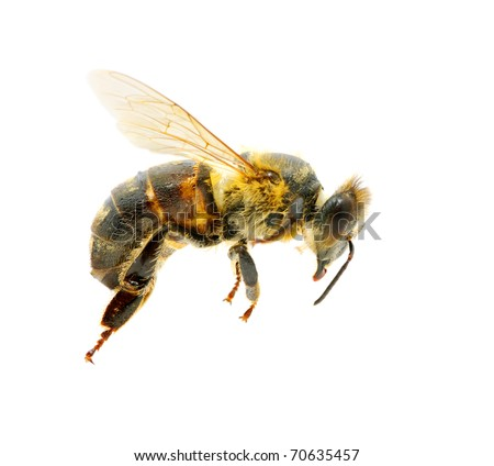 bee in flying - stock photo