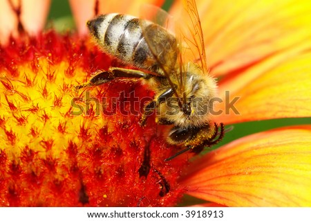 Bee in the flower bee is amazing - stock photo