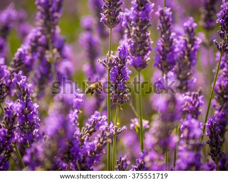Bee in the lavender field - stock photo