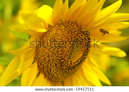 Bee is flying to sunflower - stock photo