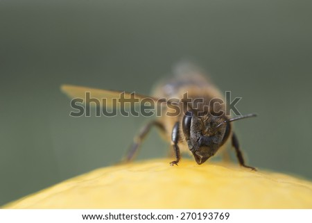 Bee isolated on green background - stock photo
