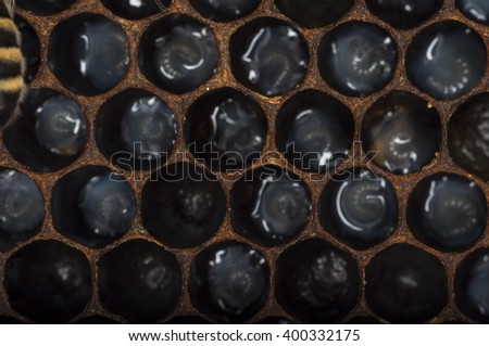 bee larvae in a beeswax honeycomb