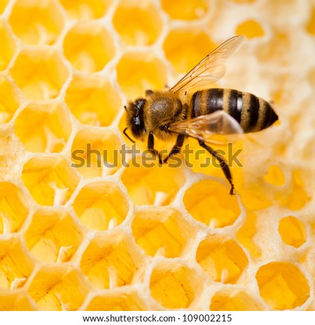 bee macro shot collecting honey in honeycomb - stock photo