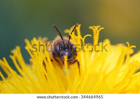 bee nectar on yellow dandelion