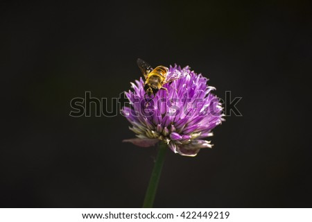Bee on a chive - stock photo