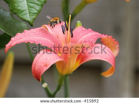 Bee on a day lily - stock photo