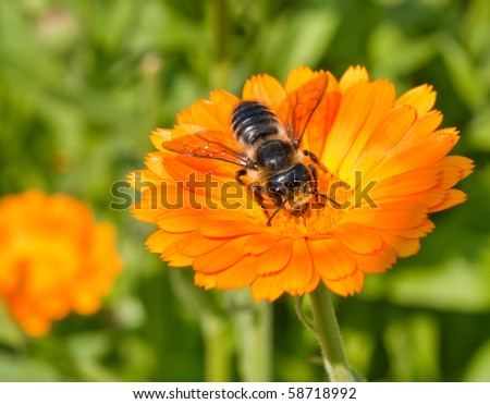 bee on a flower calendula on a bright sunny day - stock photo