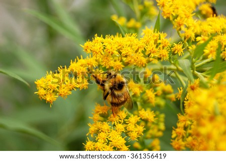 bee on a flower collects nectar - stock photo