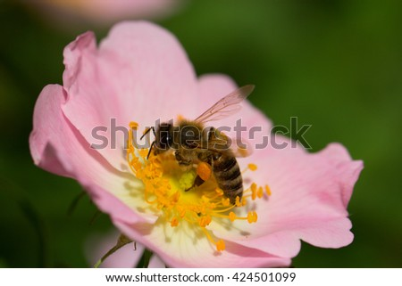 Bee on a flower of the pink flowers blossoms.Macro of honey bee (Apis) feeding on pink flower - stock photo