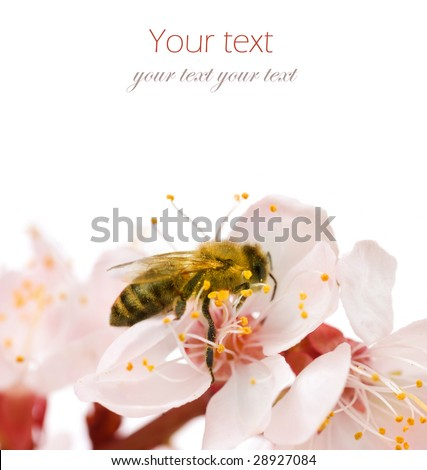 Bee on a flower.Studio isolated - stock photo