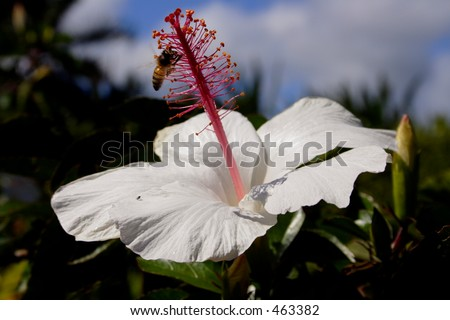 Bee on a hibiscus flower in the Dole Plantation Botanical garden, Oahu - stock photo