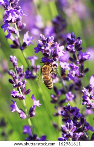 Bee on a Lavender flower in the field - stock photo