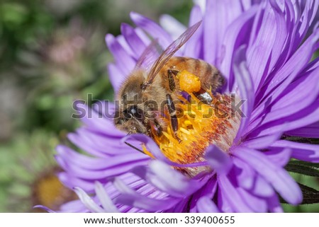Bee on a New England Aster