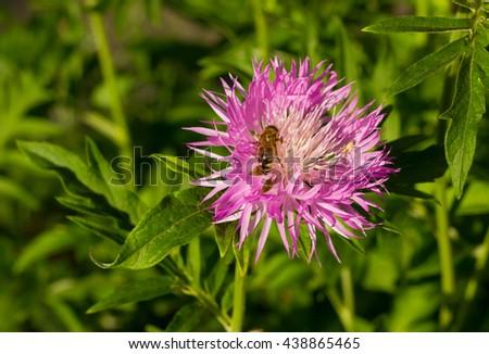 Bee on a pink cornflower whited flower (Centaurea dealbata) closeup on blurred background  - stock photo