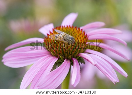 Bee on a pink flower - stock photo