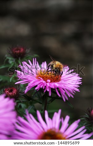 Bee on a pink flower. Native to British Isles. Photograph taken in Yorkshire, UK - stock photo