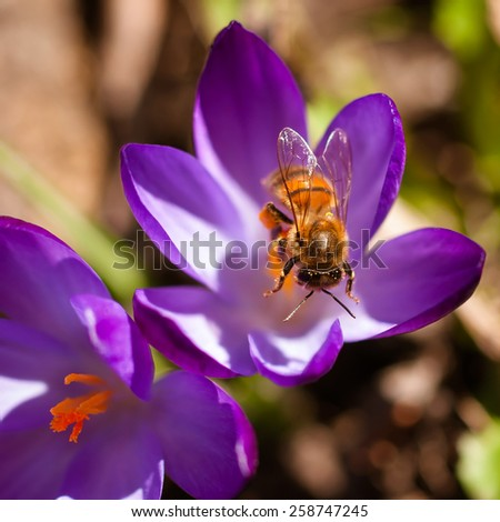 bee on a spring crocus - stock photo