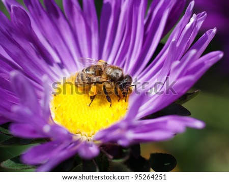 bee on a violet flower - stock photo