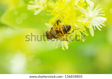 bee on a white flower - stock photo