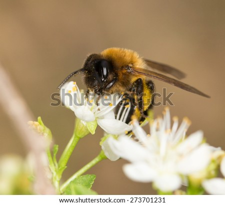 bee on a white flower in nature. close-up