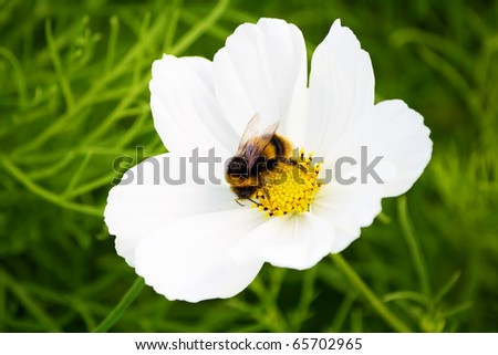 Bee on a wild white flower with a diffused grass background - stock photo