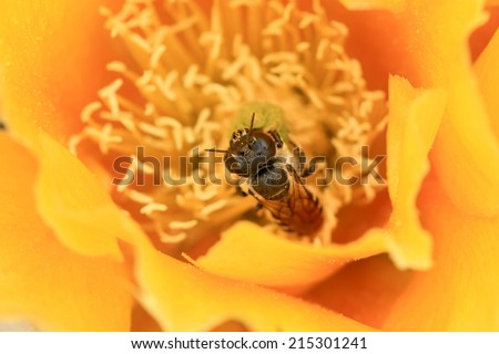 Bee on a Yellow Cactus Flower (Opuntia basilaris), California, USA - stock photo