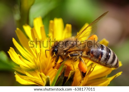 Bee on a yellow dandelion  flower collecting pollen and gathering nectar to produce honey in the hive