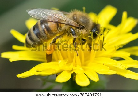 Bee on a yellow dandelion with pollen bags on its legs Close up
