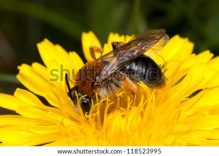 Bee on a yellow flower (dandelion) collecting honey