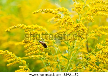 bee on a yellow flower in the garden - stock photo