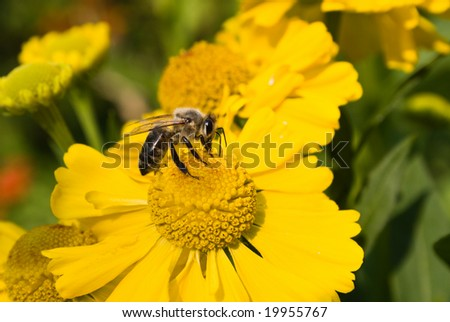 Bee on a yellow flower. Small depth to sharpness