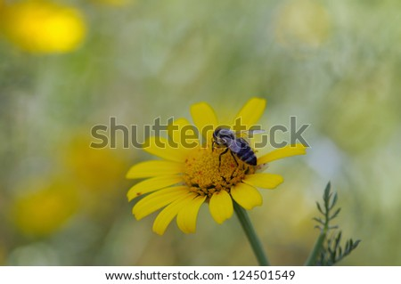 Bee on a yellow flower. Spring nature background. - stock photo
