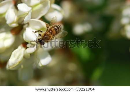 Bee on acacia flower - stock photo