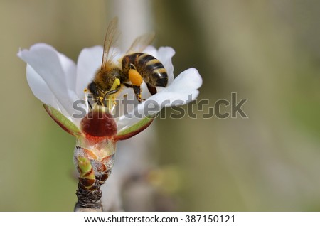 Bee On Almond Tree Flower In SpringTime