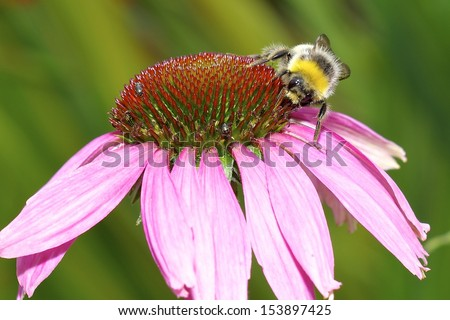 Bee on an echinacea flower (cone flower). Close up shot. - stock photo