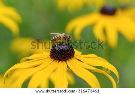 Bee on Black-Eyed Susan - stock photo
