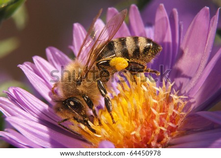 Bee on blue chrysanthemum with pollen on tarsus - stock photo