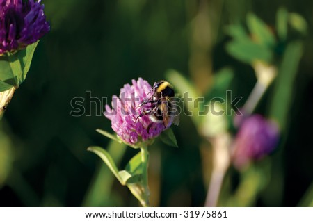 Bee On Clover - stock photo