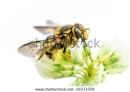 Bee on clover flower isolated on white background - stock photo