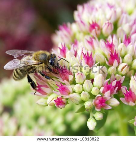 Bee on crassula - stock photo