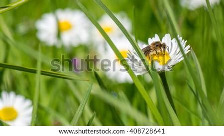 bee on daisy - stock photo