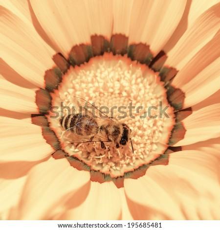 Bee on daisy flower  - stock photo