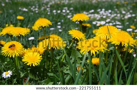 Bee on Dandelion flowers and daisies  - stock photo