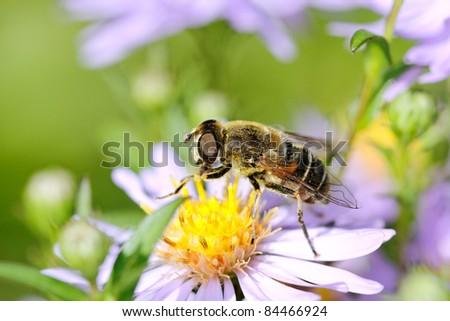 Bee on flower. - stock photo