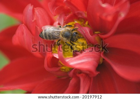 Bee on flower close up shot - stock photo