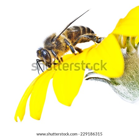 bee on flower with white background - stock photo