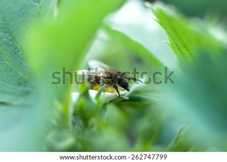 Bee on green leaf.  Blurred background.