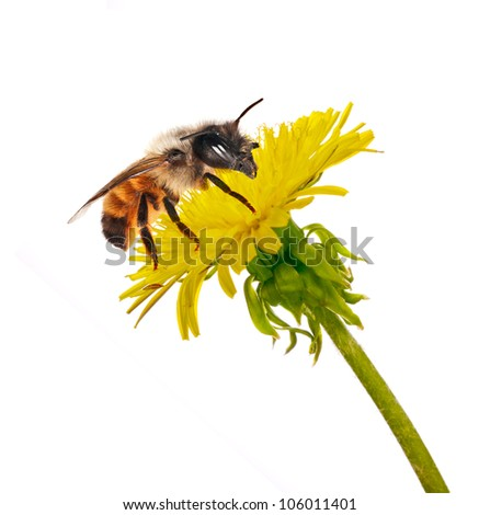 bee on isolated yellow bright dandelion - stock photo